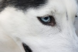 Close-Up, Husky